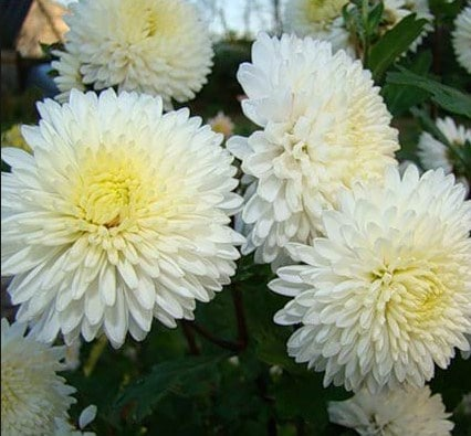 Chrysanthemum inodorum krisan