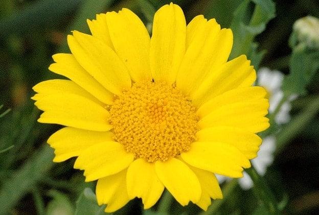 Chrysanthemum segetum krisan
