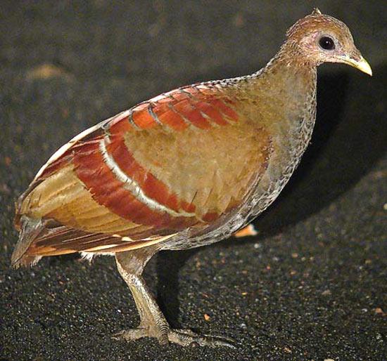 Gosong Maluku