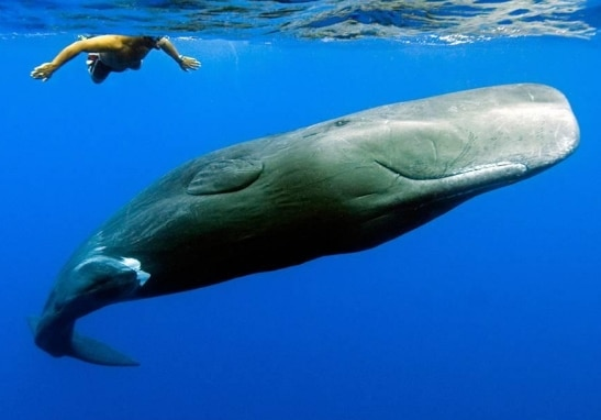Paus Sperma (Sperm Whale)