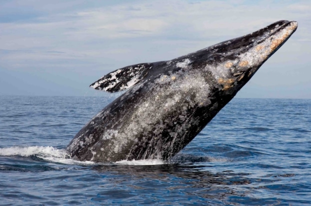 Paus abu-abu (Gray Whale)
