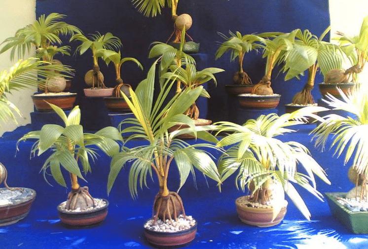 Teknik Cara Dan Langkah Mudah Membuat Bonsai Kelapa Faunadanflora Com