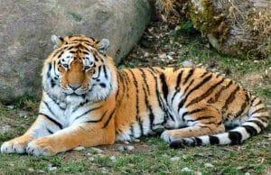harimau benggala
