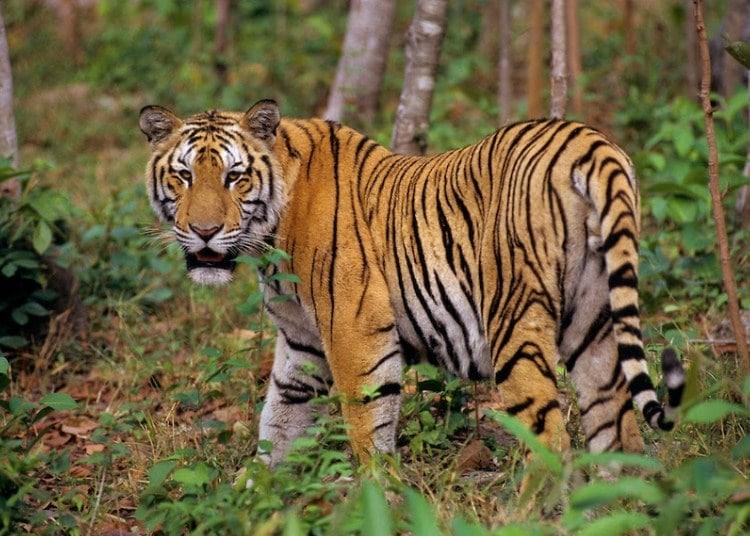 harimau indocina