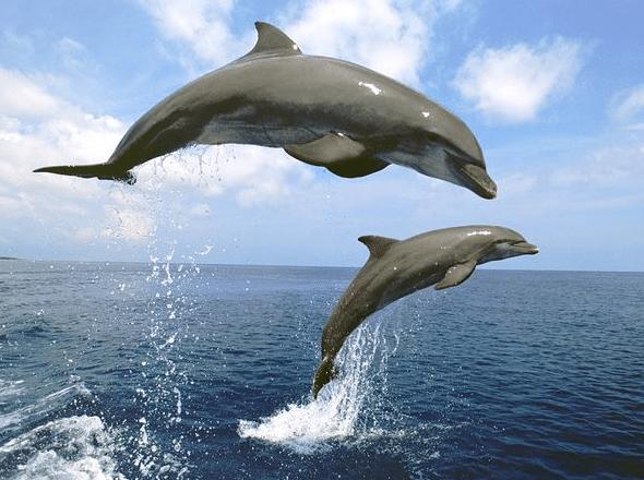 lumba lumba hidung botol