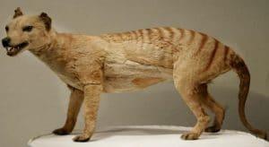 marsupial Harimau tasmania