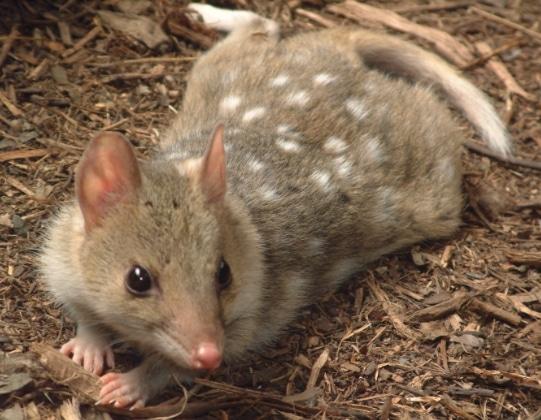marsupial Quoll