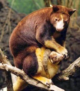 marsupial kanguru pohon