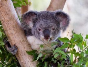 marsupial koala