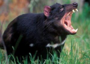 marsupial tasmanian devil