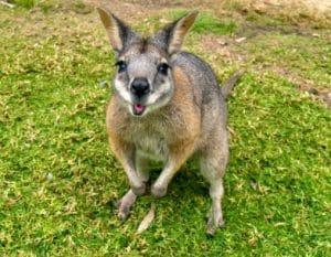 marsupial wallaby