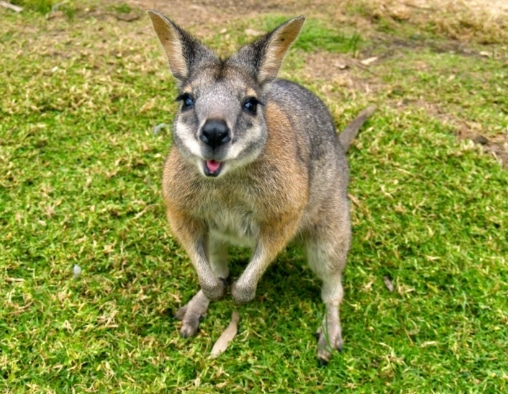 marsupial wallaby