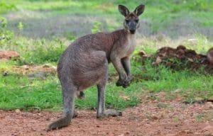 marsupial wallaroo