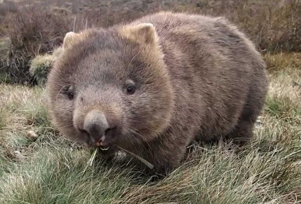 marsupial wombat