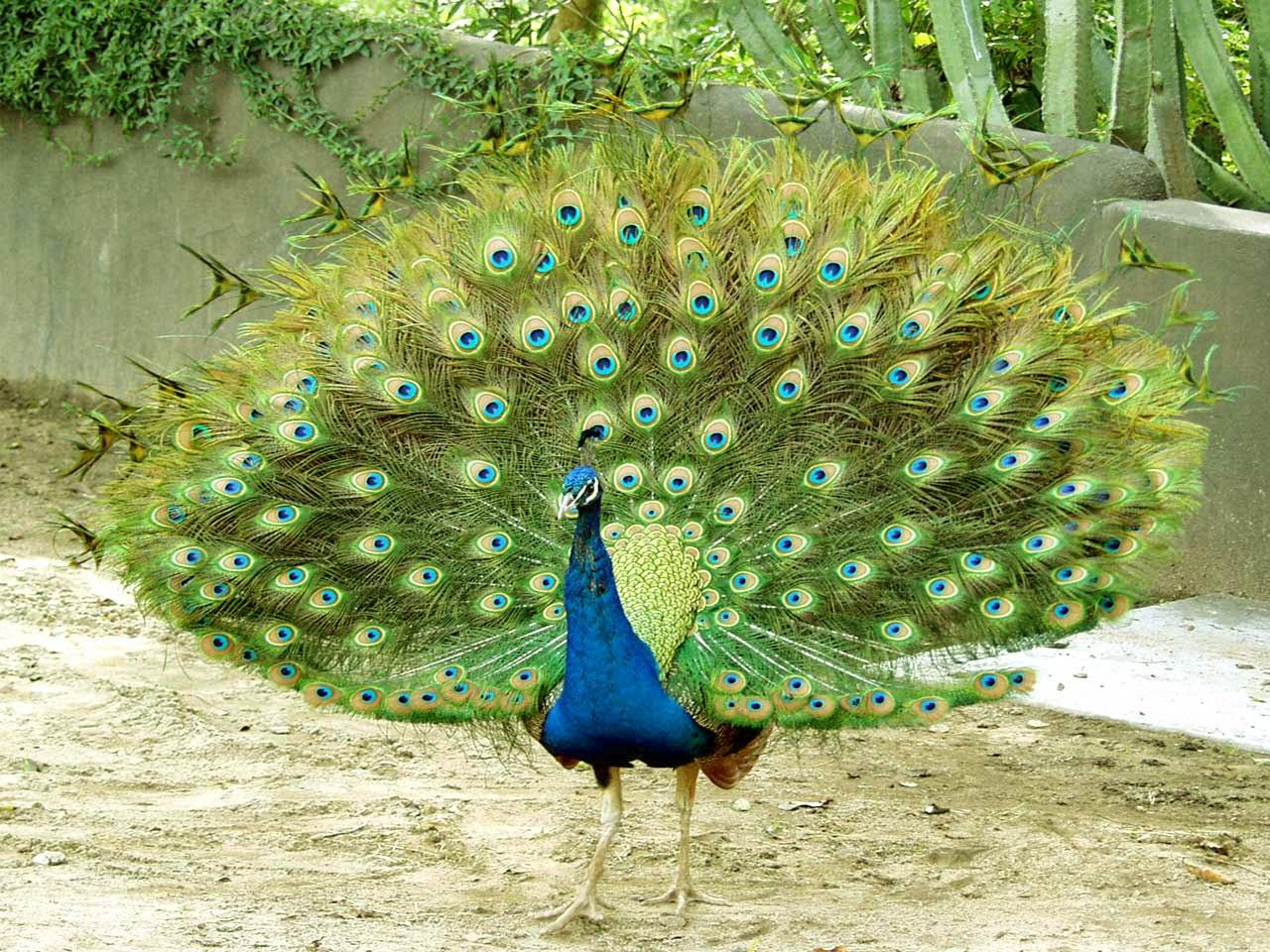 Download 650+ Foto Gambar Burung Merak Dan Penjelasannya HD Terbaru Free