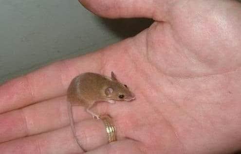 tikus kerdil afrika