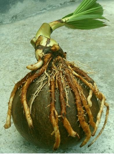 Teknik Cara Dan Langkah Mudah Membuat Bonsai Kelapa Flora