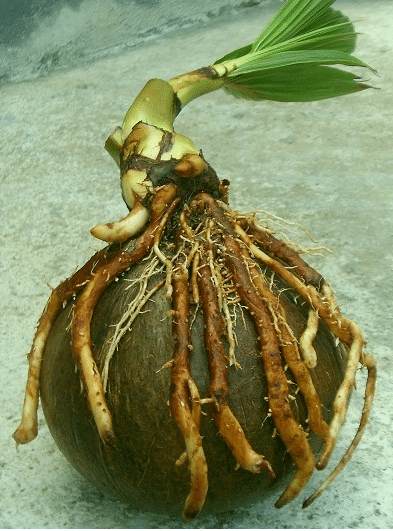 tunas bonsai kelapa