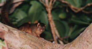 tupai nicobarica