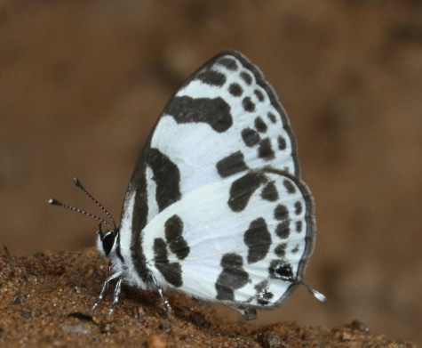 Banded Blue Pierrot, Discolampa ethion.