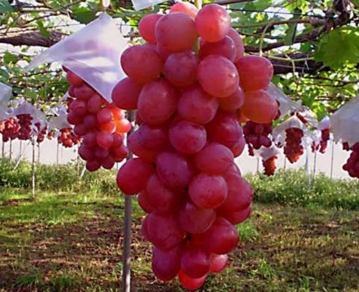 Barbarossa grape
