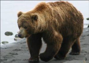 Beruang Coklat (Ursus arctos)