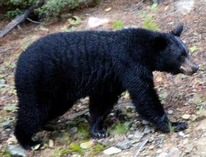 Beruang Hitam Amerika(Ursus americanus)