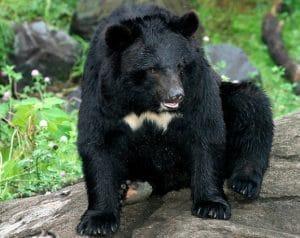 Beruang Hitam Asia (Ursus thibetanus)