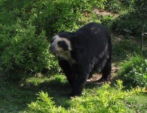 Beruang Tremarctos ornatus