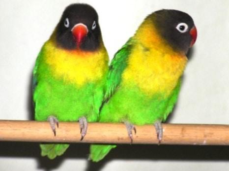 Black-Masked Lovebird 2