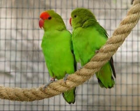 lovebird  penjelasan klasifikasi dan jenisnya flora