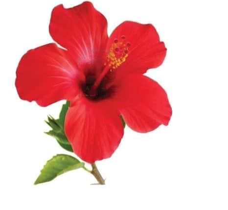 Bunga Sepatu Penjelasan Klasifikasi Jenis Serta