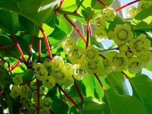Bunga buah kiwi