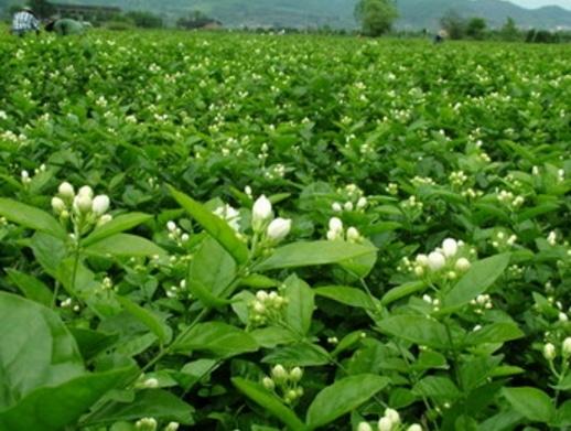 Cara menanam dan merawat bunga melati