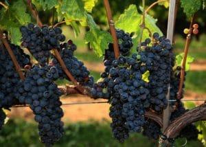 Carbernet Franc Grape