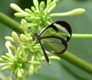 Glasswing butterfly,Greta oto.
