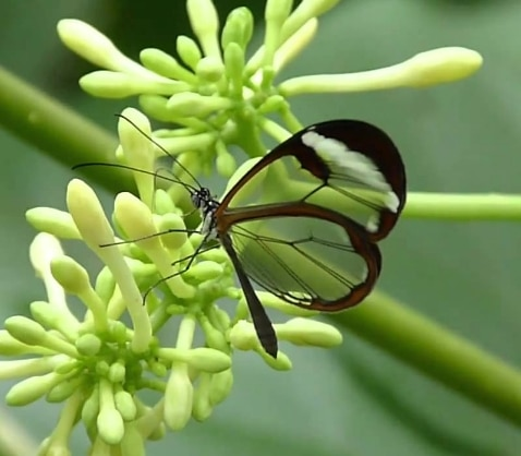 Glasswing butterfly,Greta oto.