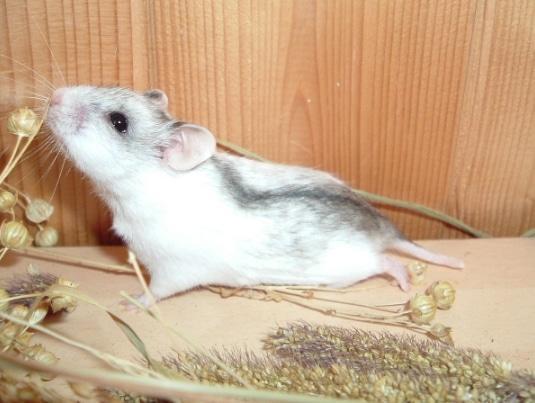 Hamster Cina (Cricetulus griseus)