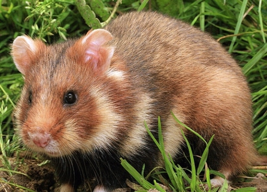 Hamster Eropa (Cricetus cricetus)