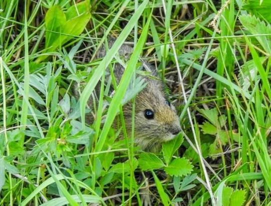 Hamster Gansu (Cansumys canus)