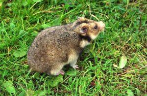 Hamster Kaukasus (Mesocricetus raddei)