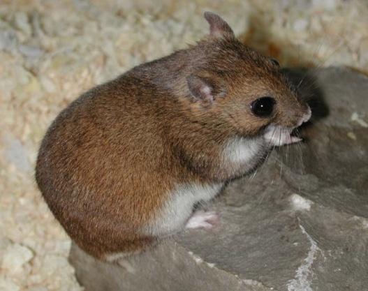 Hamster Kazakhstan (Allocricetulus eversmanni)