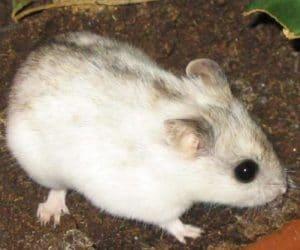 Hamster Ladak (Cricetulus alticola)