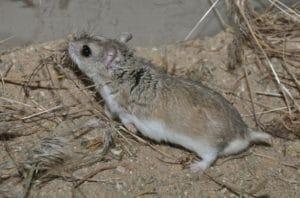 Hamster Mongolia (Allocricetulus curtatus)