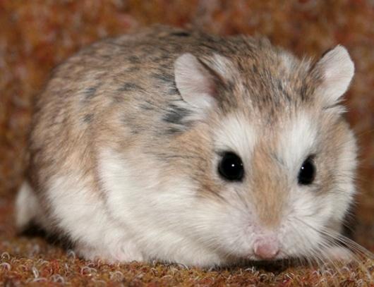 Hamster Roborovski (Phodopus roborovskii)