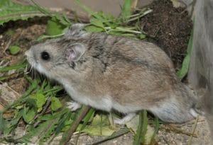 Hamster Sokolov (Cricetulus sokolovi)
