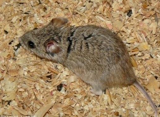 Hamster ekor panjang (Cricetulus longicaudatus)