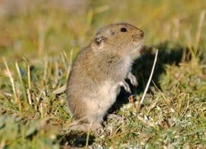 Hamster kerdil Kam (Cricetulus Kamnesis)