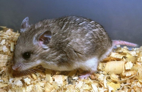 Hamster kerdil abu-abu (Cricetulus migratorius)