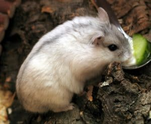 Hamster kerdil putih Rusia (Phodopus sungorus)